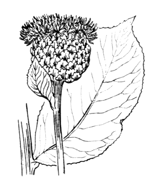Rhaponticum scariosum Lam. - illustration de coste