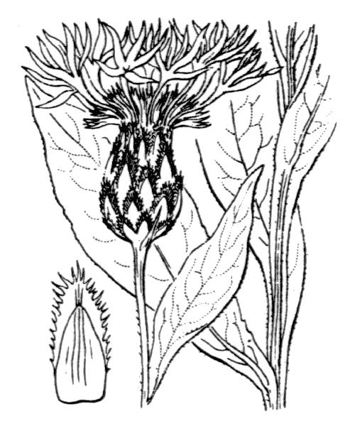 Cyanus montanus (L.) Hill - illustration de coste