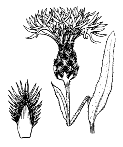 Cyanus graminifolius (Lam.) Olšavská - illustration de coste