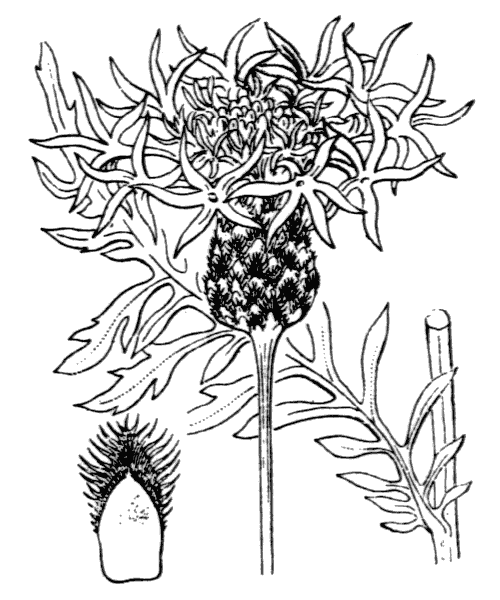 Centaurea scabiosa L. - illustration de coste
