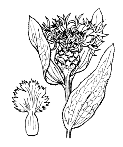 Centaurea jacea L. [1753] - illustration de coste