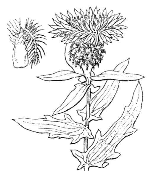 Centaurea pectinata L. [1763] - illustration de coste
