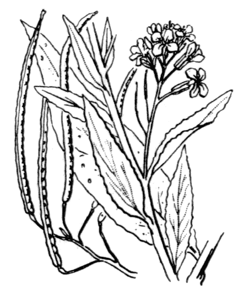 Sisymbrium strictissimum L. - illustration de coste