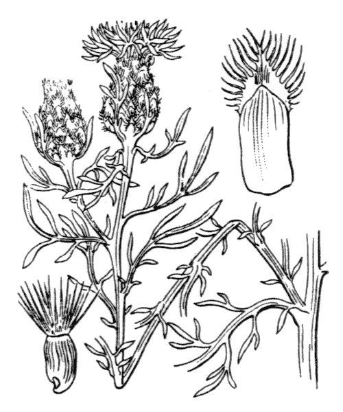 Centaurea corymbosa Pourr. - illustration de coste