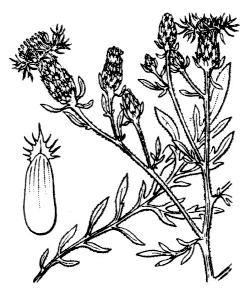 Centaurea paniculata L. - illustration de coste