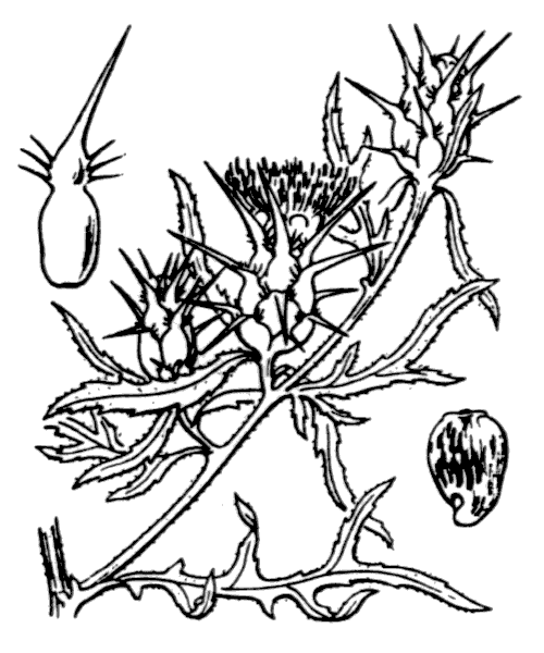 Centaurea calcitrapa L. - illustration de coste