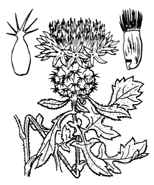 Centaurea sphaerocephala L. [1753] - illustration de coste