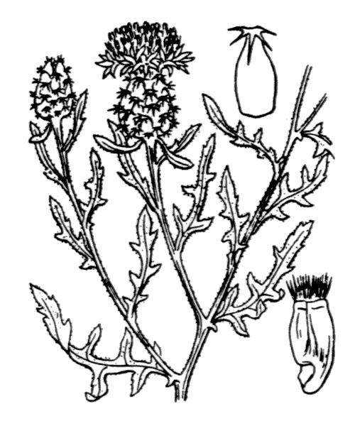 Centaurea aspera L. - illustration de coste