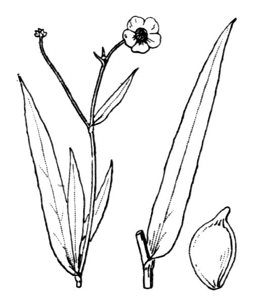 Ranunculus lingua L. [1753] - illustration de coste