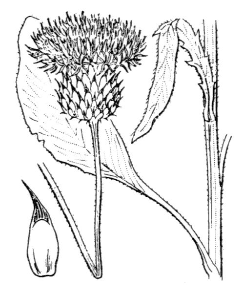 Klasea nudicaulis (L.) Fourr. - illustration de coste