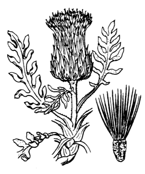 Jurinea humilis (Desf.) DC. - illustration de coste