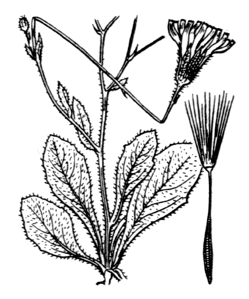 Hypochaeris achyrophorus L. - illustration de coste