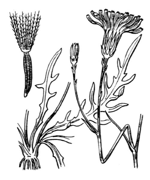 Scorzoneroides autumnalis (illustration de Coste)