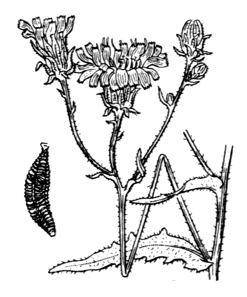 Picris hieracioides L. - illustration de coste