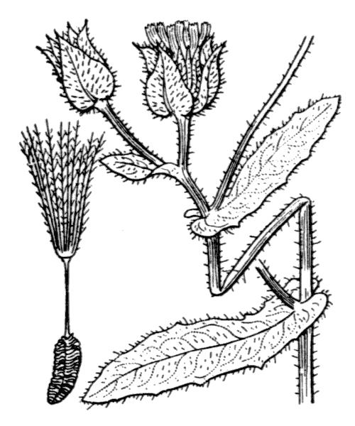 Helminthotheca echioides (L.) Holub - illustration de coste
