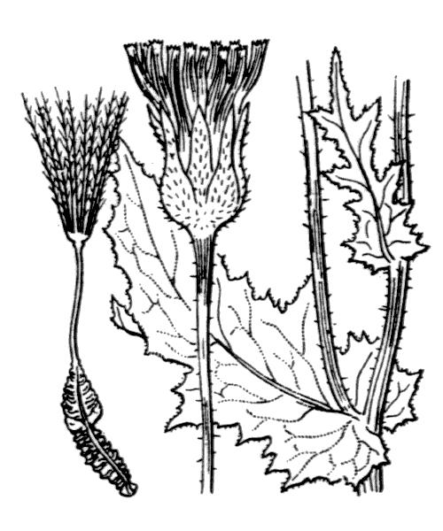 Urospermum picroides (L.) Scop. ex F.W.Schmidt - illustration de coste