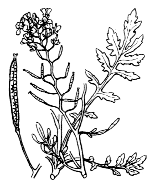 Rorippa sylvestris (L.) Besser - illustration de coste