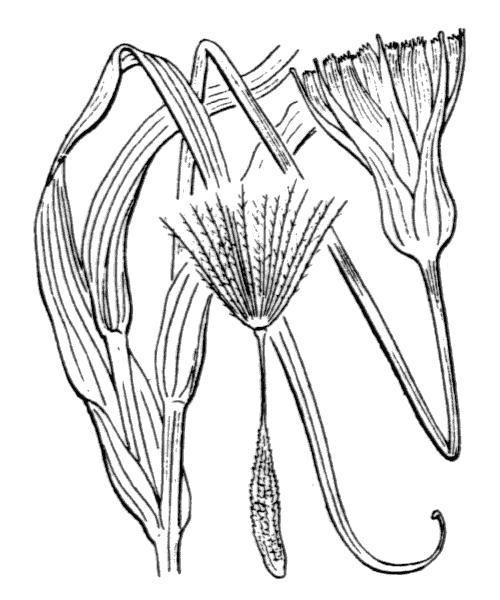 Tragopogon pratensis L. - illustration de coste