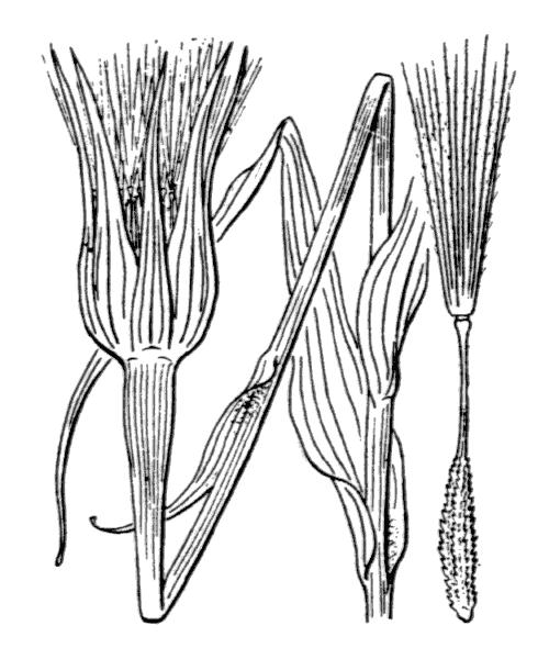 Tragopogon dubius Scop. - illustration de coste