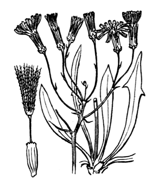 Chondrilla chondrilloides (illustration de Coste)