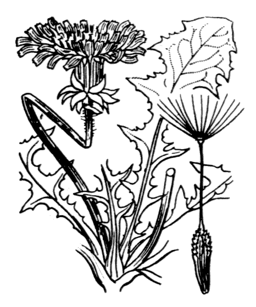 Taraxacum officinale F.H.Wigg. [1780] - illustration de coste