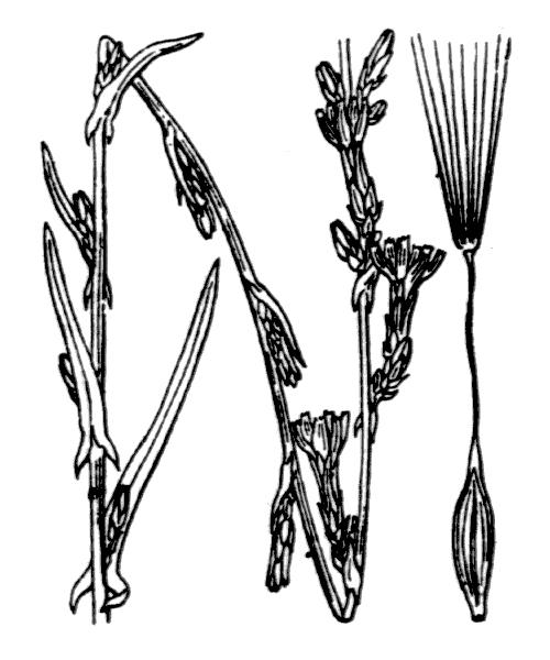 Lactuca saligna L. - illustration de coste