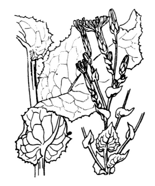 Lactuca sativa L. - illustration de coste