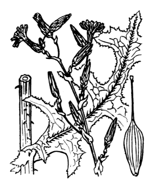 Lactuca serriola L. - illustration de coste