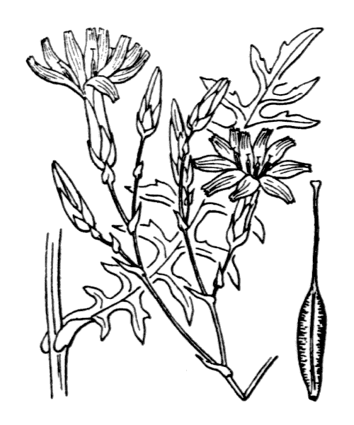 Lactuca perennis L. [1753] - illustration de coste