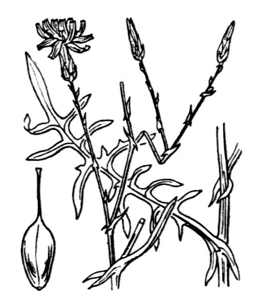 Lactuca tenerrima Pourr. [1788, Hist. & Mém. Acad. Roy. Sci. Toulouse, sér. 1, 3 : 321] (illustration de Coste)
