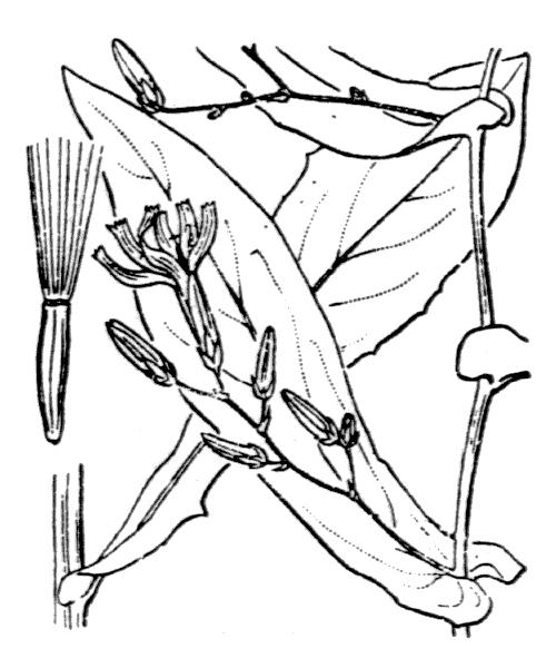 Prenanthes purpurea L. - illustration de coste