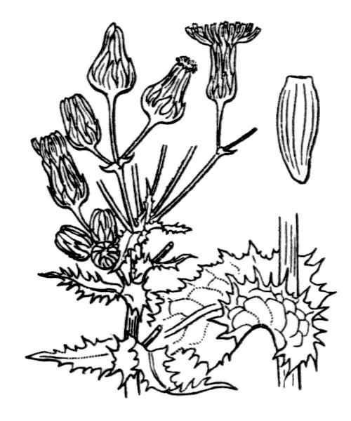 Sonchus asper (L.) Hill - illustration de coste