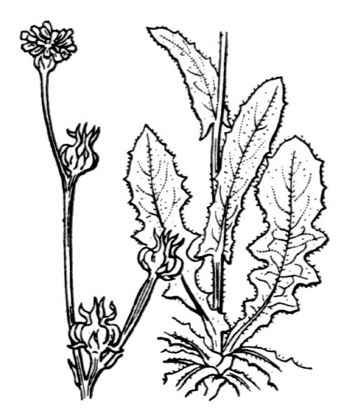Crepis zacintha (L.) Loisel. [1807] - illustration de coste