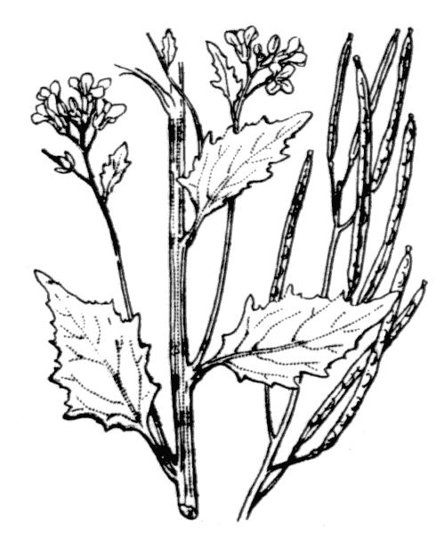 Arabidopsis cebennensis (DC.) O'Kane & Al-Shehbaz - illustration de coste