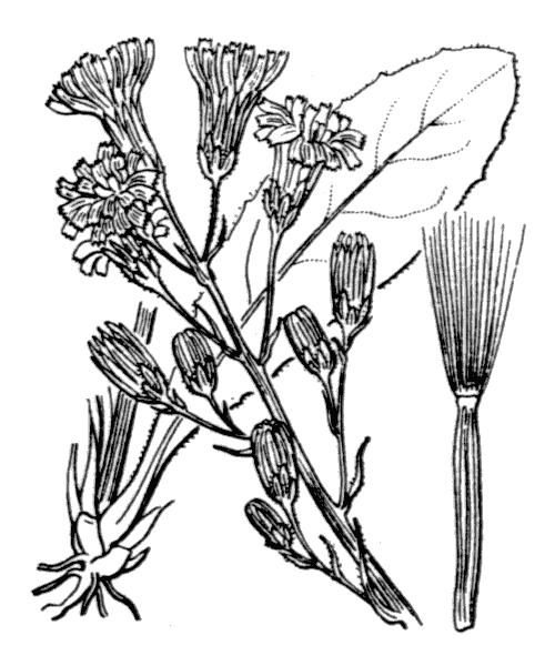 Crepis praemorsa (L.) Walther [1802] - illustration de coste