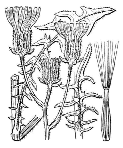Crepis biennis L. - illustration de coste