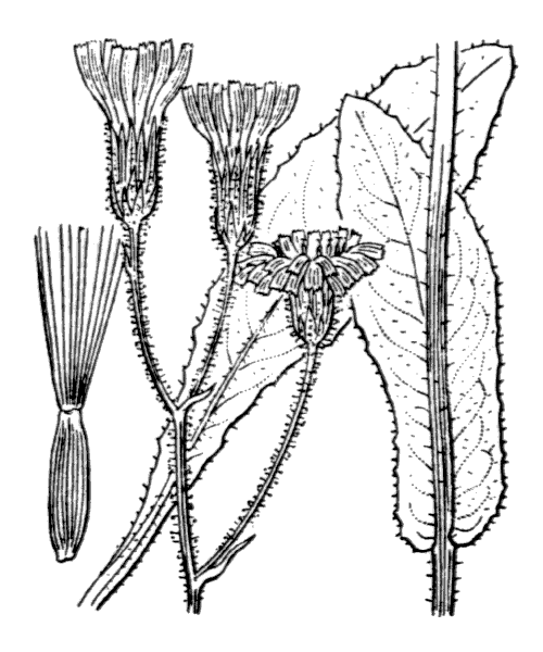 Crepis mollis (Jacq.) Asch. - illustration de coste
