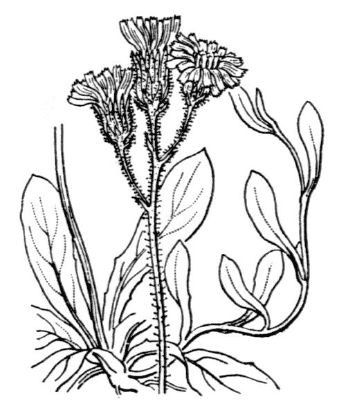 Pilosella lactucella (Wallr.) P.D.Sell & C.West - illustration de coste