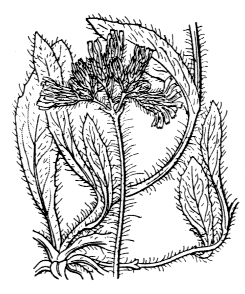 Pilosella caespitosa (Dumort.) P.D.Sell & C.West - illustration de coste