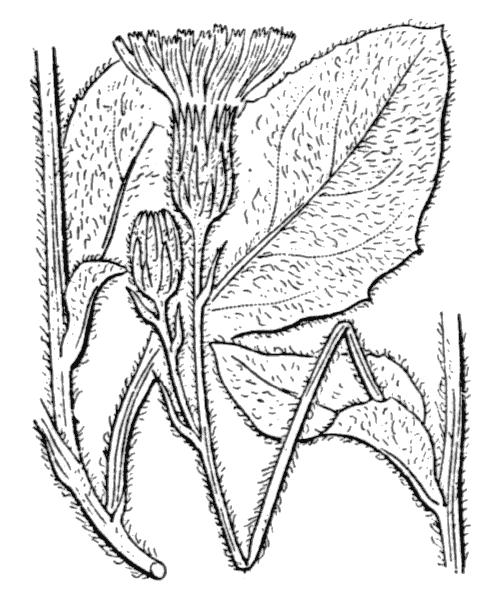 Hieracium tomentosum L. - illustration de coste