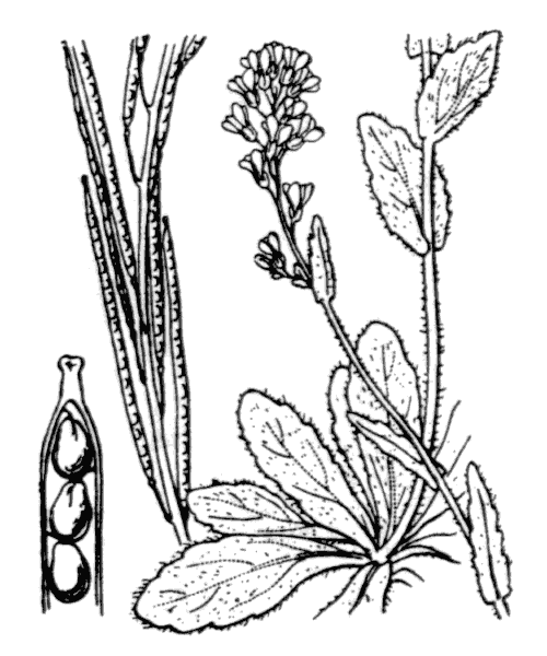 Arabis hirsuta (L.) Scop. [1772] - illustration de coste