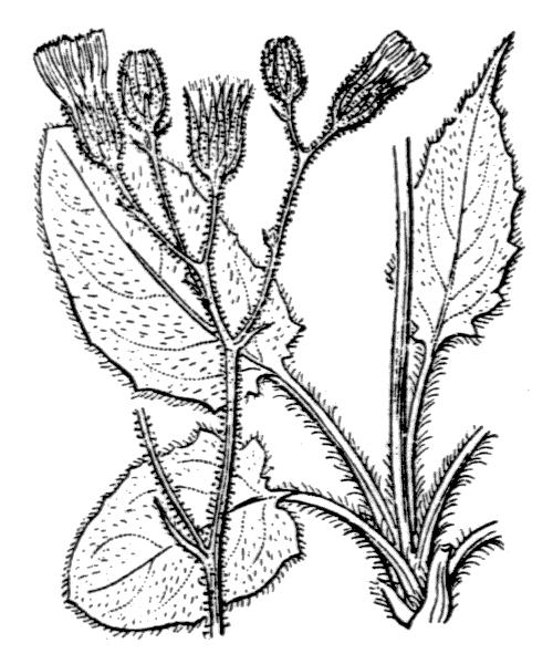 Hieracium murorum L. - illustration de coste