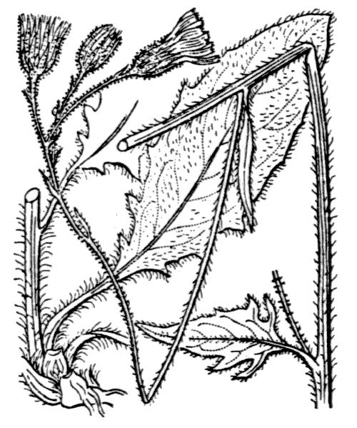 Hieracium vulgatum Fr. - illustration de coste