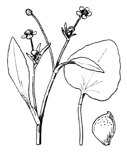 Ranunculus ophioglossifolius Vill. - illustration de coste