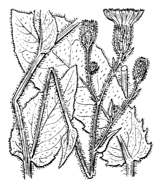 Hieracium viscosum Arv.-Touv. - illustration de coste