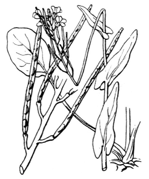 Fourraea alpina (L.) Greuter & Burdet - illustration de coste