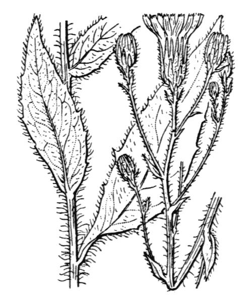 Hieracium sabaudum L. [1753] - illustration de coste