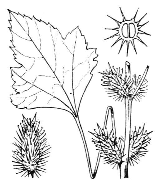 Xanthium orientale subsp. italicum (Moretti) Greuter - illustration de coste