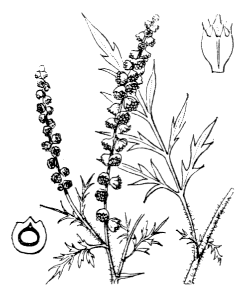 Ambrosia artemisiifolia L. [1753] - illustration de coste