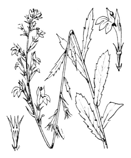 Lobelia urens L. - illustration de coste